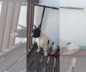 Main photo of French Bulldog Dog Breeder near WEST PALM BCH, FL, USA