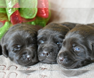 Main photo of Labrador Retriever Dog Breeder near BROOKSVILLE, FL, USA