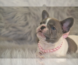 Main photo of French Bulldog Dog Breeder near SUMMERFIELD, FL, USA