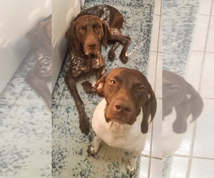 German Shorthaired Pointer Breeder in KISSIMMEE, FL