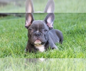French Bulldog Dog Breeder in EDGEWATER,  USA
