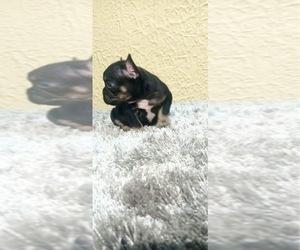 Main photo of French Bulldog Dog Breeder near VIRGINIA BCH, VA, USA