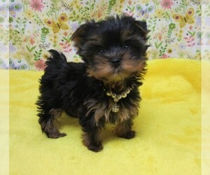 Yorkshire Terrier Dog Breeder in JESS RANCH,  USA