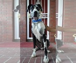 Great Dane Breeder in COLORADO SPRINGS, CO, USA
