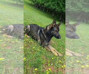 German Shepherd Dog Breeder in FORD, VA, USA