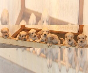 Main photo of Golden Retriever Dog Breeder near MEDIAPOLIS, IA, USA