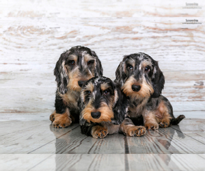 Main photo of Dachshund Dog Breeder near Moscow, Moscow, Russia