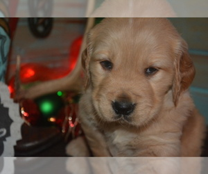 Golden Retriever Breeder in EXLINE, IA, USA