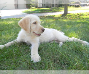 Labradoodle Dog Breeder in LEO,  USA