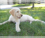 Labradoodle Breeder in LEO, IN, USA