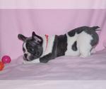 French Bulldog Breeder in BAD AXE, MI, USA