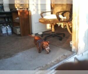 Main photo of Dachshund Dog Breeder near BULLHEAD CITY, AZ, USA