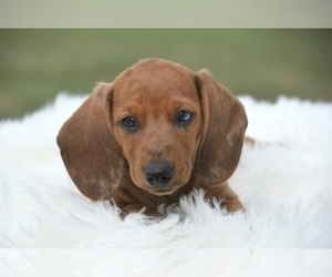 Dachshund Dog Breeder near OSKALOOSA, KS, USA