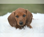 Dachshund Breeder in OSKALOOSA, KS, USA