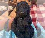 Goldendoodle-Poodle (Standard) Breeder in AND, SC, USA