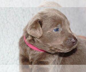 Main photo of Labrador Retriever Dog Breeder near FORT MADISON, IA, USA