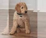 Goldendoodle Breeder in LOVELAND, CO, USA