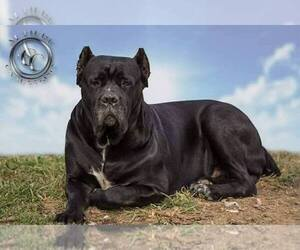 Cane Corso Breeder in GROVE CITY, OH, USA