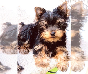 Yorkshire Terrier Dog Breeder in STKN,  USA