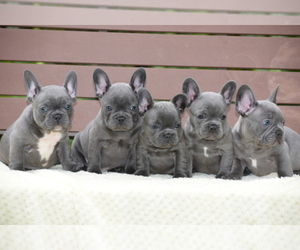 French Bulldog Breeder in MARYSVILLE, WA