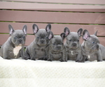 French Bulldog Breeder in MARYSVILLE, WA, USA