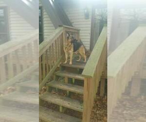 Main photo of German Shepherd Dog Dog Breeder near CLOVER, SC, USA