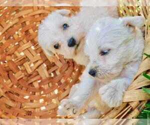 Main photo of Schnauzer (Miniature) Dog Breeder near HOUSTON, TX, USA