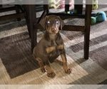 Doberman Pinscher Breeder in SAGINAW, MI, USA