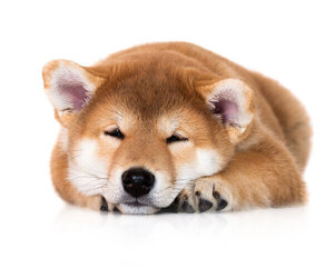 Shiba Inu Dog Breeder in DALY CITY,  USA