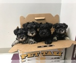 Schnauzer (Miniature) Breeder in MERIDEN, KS, USA