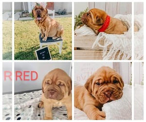 Dogue de Bordeaux Dog Breeder near LA SIERRA, CA, USA