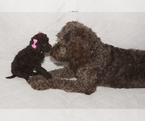 Main photo of Labradoodle Dog Breeder near GALION, OH, USA