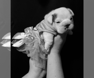 Main photo of English Bulldog Dog Breeder near MADRAS, OR, USA