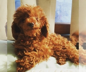 Poodle (Toy) Breeder in CULVER CITY, CA