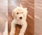 Goldendoodle-Poodle (Standard) Breeder in PHOENIX, AZ, USA