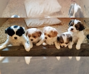 Cavaton Dog Breeder in HENNIKER,  USA