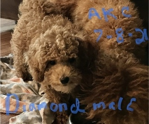 Poodle (Toy) Dog Breeder in LONG GROVE,  USA