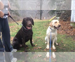 Main photo of Labrador Retriever Dog Breeder near HOLLEY, NY, USA