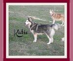 Siberian Husky Breeder in GADSDEN, AL, USA
