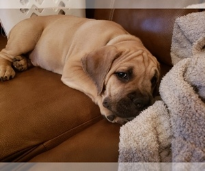 Main photo of Boerboel-Cane Corso Mix Dog Breeder near ATL, GA, USA
