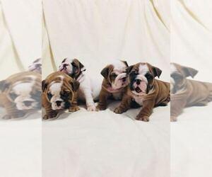 Bulldog Dog Breeder in BOSTON,  USA