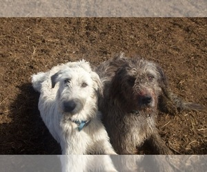 Irish Wolfhound-Saint Bernard Breeder in BLACKFOOT, ID