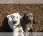 Irish Wolfhound-Saint Bernard Breeder in BLACKFOOT, ID