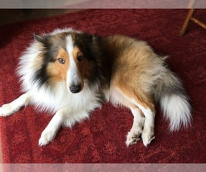 Shetland Sheepdog Dog Breeder near ROYSE CITY, TX, USA
