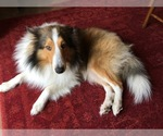 Shetland Sheepdog Breeder in ROYSE CITY, TX, USA