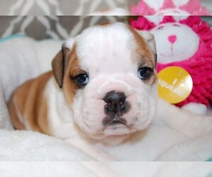 English Bulldogge Dog Breeder in FAIRHOPE,  USA