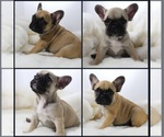 French Bulldog Breeder in SAINT JOHNS, FL, USA