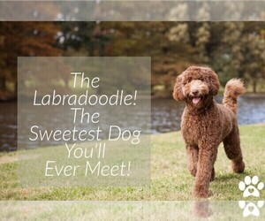 Main photo of Labradoodle Dog Breeder near N PORT, FL, USA