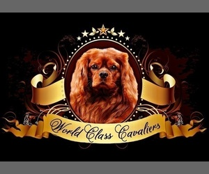Main photo of Cavalier King Charles Spaniel Dog Breeder near MIAMI, FL, USA