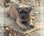 Cane Corso Breeder in GREENBRIER, TN